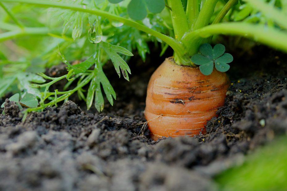 carrots-3586521_1920