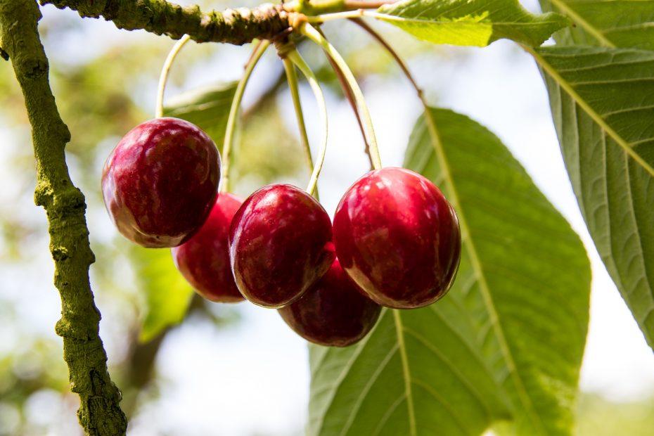 cherries-3489266_1920