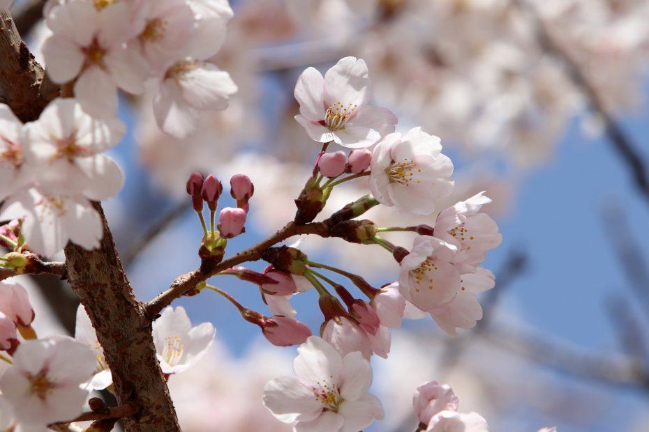 cherry-blossom-4109618_1920
